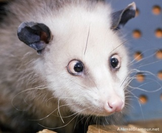 Crosseyed Possum.jpg
