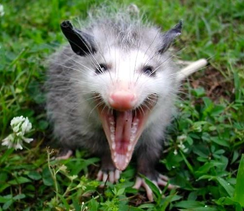 Possum yelling.jpg