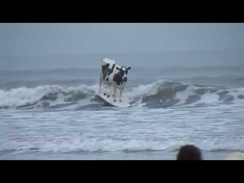 Surfing Cow
